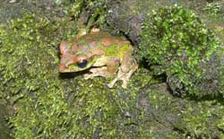 """Relative brain size is predicted by the intensity of intrasexual competition in frogs"""