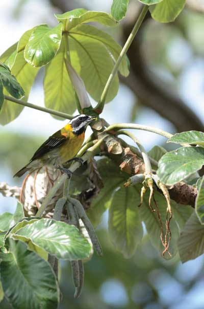 A Puerto Rican spindalis <i>Spindalis portoricensis</i> (Thraupidae), endemic to the island of Puerto Rico, eating the infructescences of <i>Cecropia schreberiana</i> (Urticaceae).<br/>(Photo: Tomás A. Carlo)
