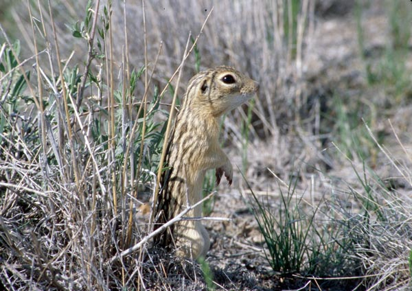 A thirteen-lined ground squirrel (<i>Ictidomys  tridecemlineatus</i>) photographed at the Pawnee National Grassland in northeastern Colorado.<br />(Credit: Alexis S. Chaine)