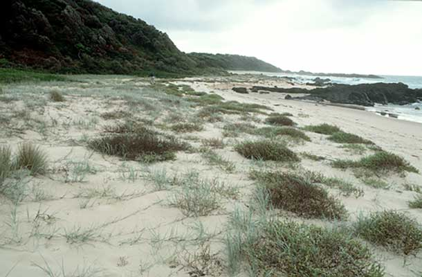 Typical landscape of the coast of New South Wales, Australia, between Durras and Central Tilba, consisting of extensive series of sandy to pebbly beaches separated by rocky, often forested, headlands or points. Clumps of <i>Cakile maritima</i> are visible, some of them being diseased.<br />(Credit: Peter H. Thrall)