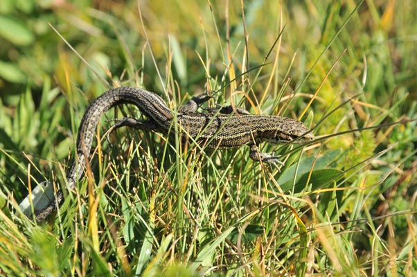 Adult common lizard male <i>Zootoca vivipara louislantzi</i> from Formigal, Huesca, Spain. Adult survival explained population decline best.<br />(Image © P. S. Fitze)