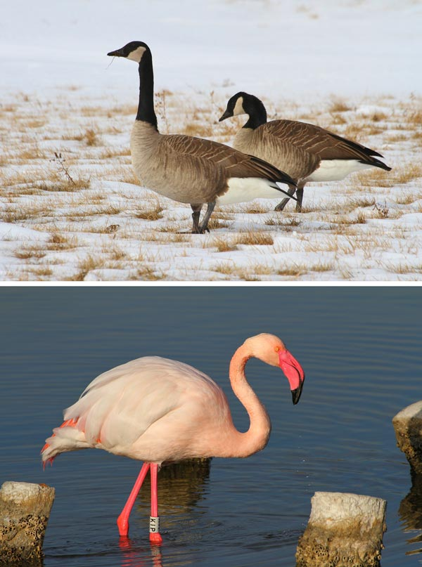 High-latitude species, such as Canada geese (<i>Branta canadensis</i>), have higher blood oxygen-carrying capacity than low-latitude species, such as the greater flamingo (<i>Phoenicopterus roseus</i>).<br />(Credit: Piotr Minias)