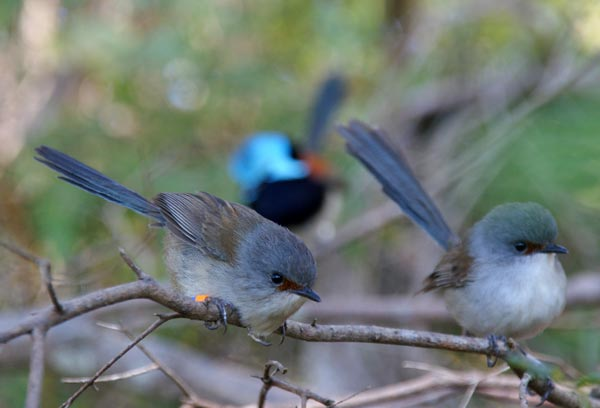 A family of red-winged fairy-wrens (<i>Malurus elegans</i>).<br />(Credit: Lyanne Brouwer)