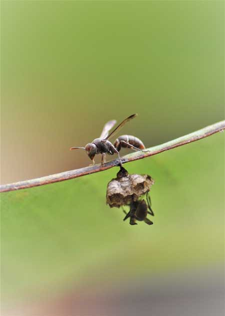 Two <i>Ropalidia</i> wasps cooperating to build a new nest on a banana frond in Ghana.<br />(Photo: Patrick Kennedy)