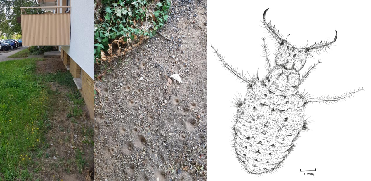 The two photos and the drawing present a cluster of the pit-building antlion <i>Euroleon nostras</i> below a balcony in the city of Mainz, Germany. Although smaller pits seem to be more common next to the cluster periphery, reaching a firm conclusion requires a more thorough analysis.<br />(Credit: Inon Scharf)