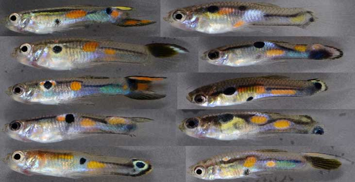 Male guppies, <i>Poecilia reticulata</i>, have highly variable color patterns that indicate their resistance to parasites, even before they become infected. <br />(Credit: Jessica Stephenson)<br/>